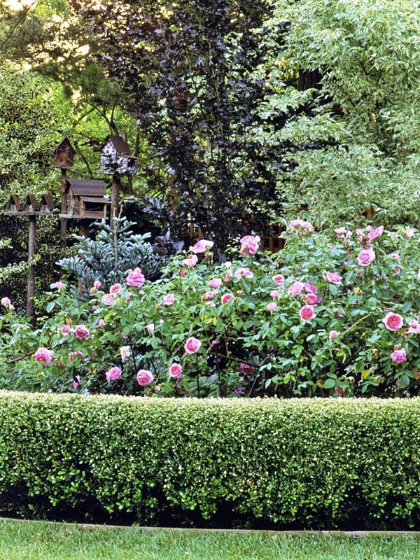 English Box Hedge