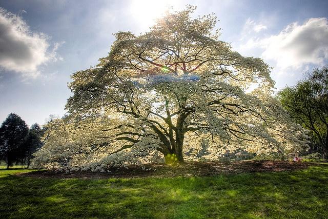 Dogwood tree in Alabama Sweet Home Alabama Pinterest