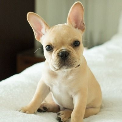 adorably cute french bulldog ❤  Bulldog Tee