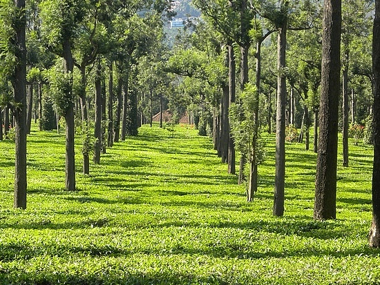 Tea Estate of Assam, India The Way of Tea Pinterest