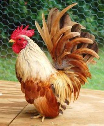"""bewareofchickens: """" Bantam Rooster """":"""