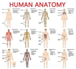 Full Picture Real Human Body   Full Human Body Diagram