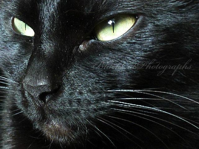 Black cat photo, pet portrait, ebony fur, lime green and