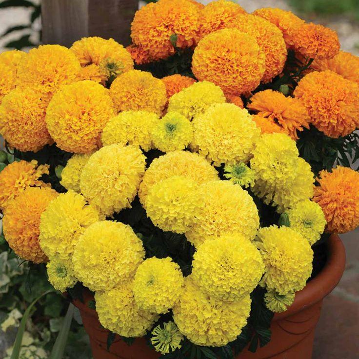 garden joy gold marigold Flowers Flower Seeds Halfhardy