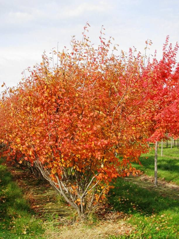 Autumn Brilliance Clump Serviceberry Landscape Ideas