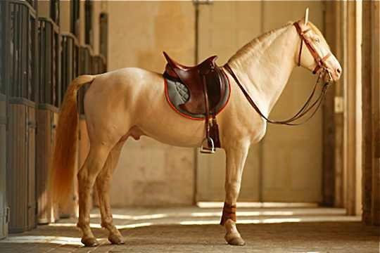 77 Best Cavalo Lusitano Portuguese Lusitano Horse Images
