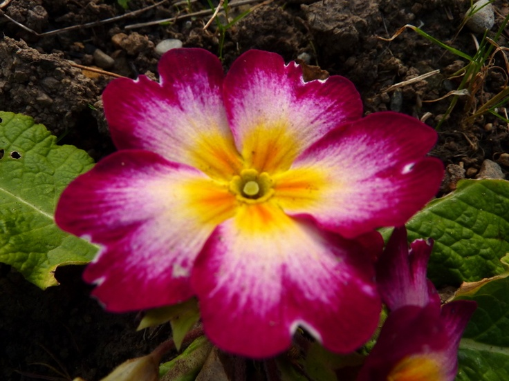 This is the Primrose, February's birth flower, for my back