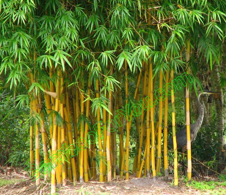 Non Invasive Clumping Bamboo