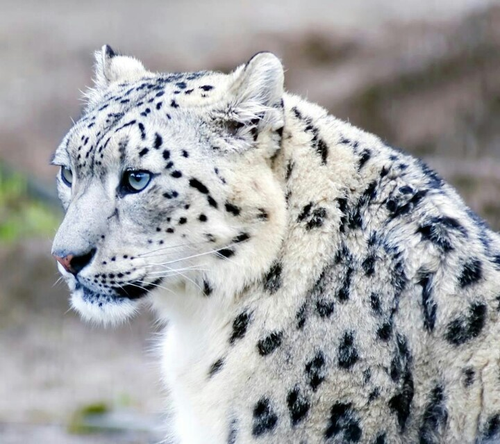 The Snow Leopard is listed on the IUCN Red List of