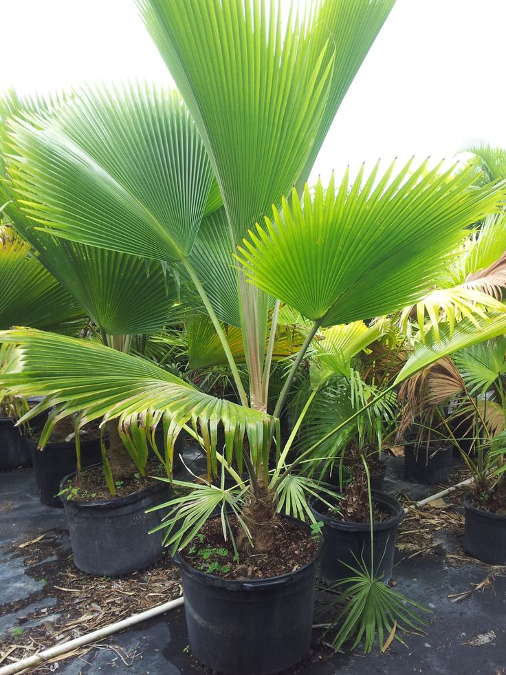 Rare Island Tropical Foliage Homestead Fiji Fan Palm