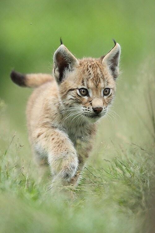 Desert Lynx cub running. Wild Cats Pinterest Deserts