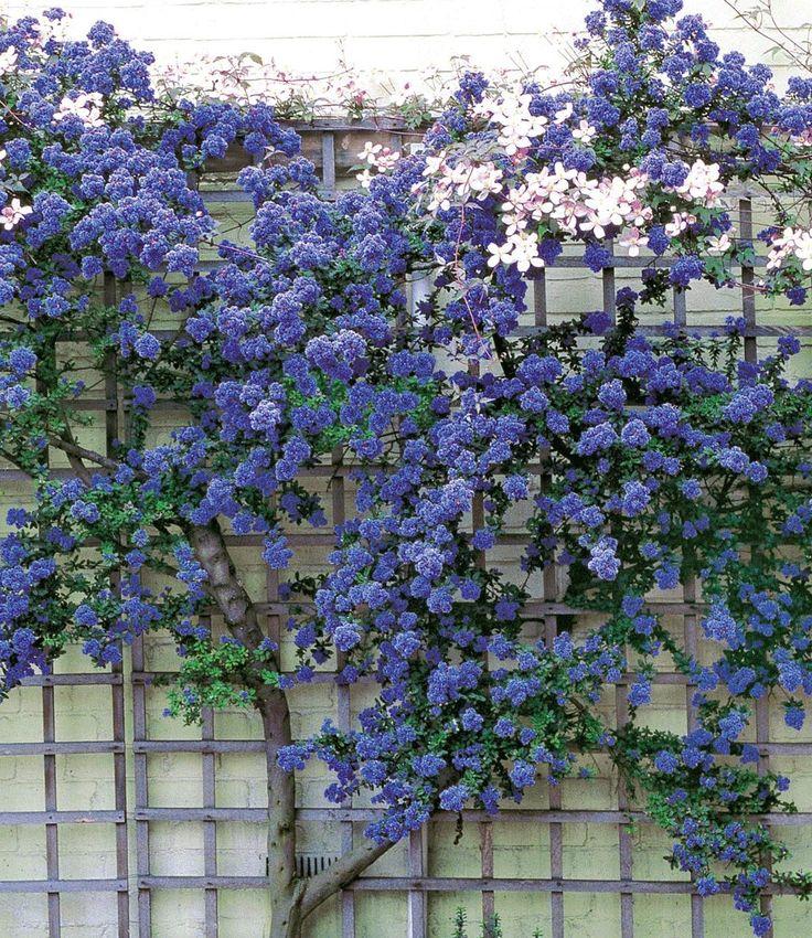 Ceanothus 'Trewithen Blue', 1 Pflanze Perennials, We