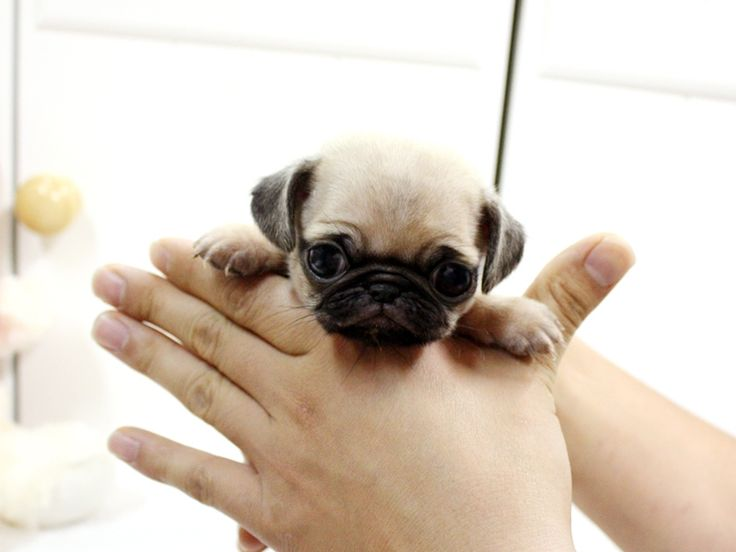 A teacup pug so cute pinterest it is puppys and