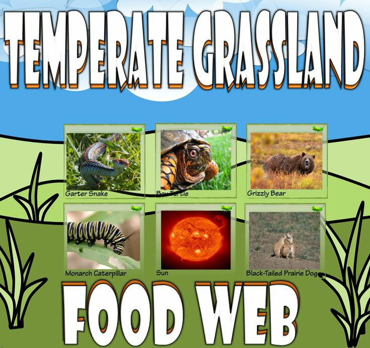 Food Chain and Food Web Temperate Grassland Card Sort
