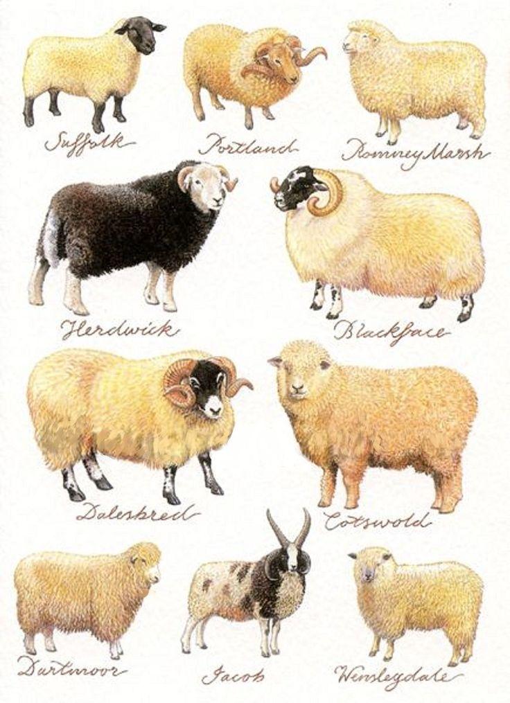 Sheep found in the United Kingdom sheep Pinterest
