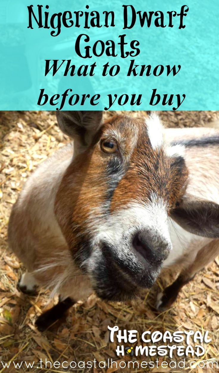 25 Best Ideas About Nigerian Dwarf Goats On Pinterest