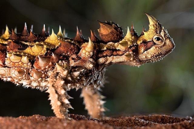 Thorny Devil, Great Victoria Desert, Western Australia, by