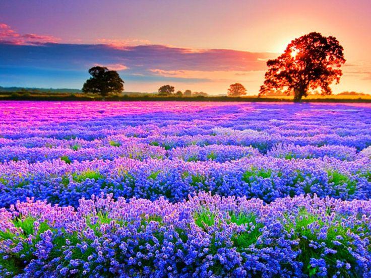 Sunrise over lavender field Lavender fields Pinterest