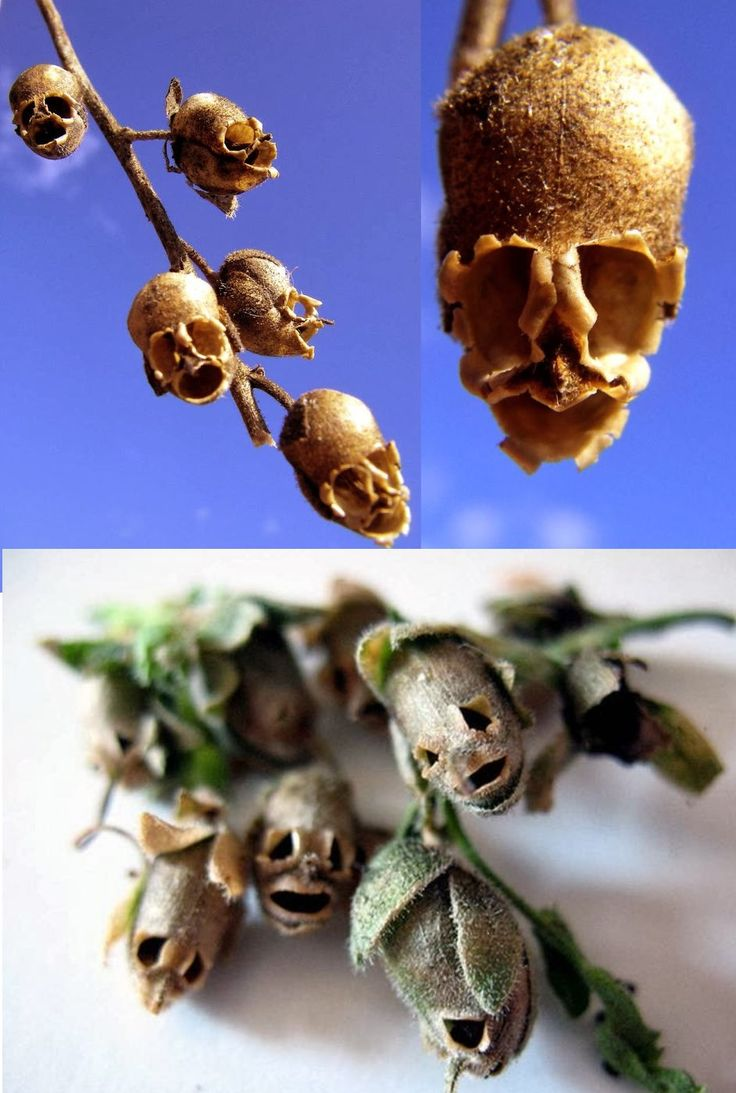The skullshaped Snapdragon Flower Dragon(Antirrhinum
