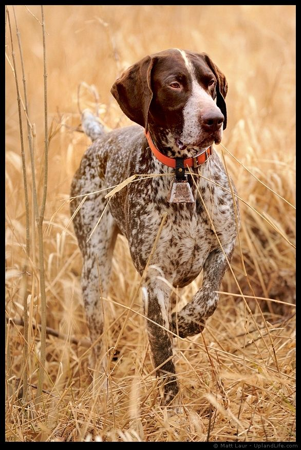 German Shorthair On Point my husband grew up with one of