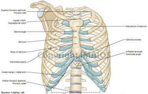 1000 images about Thorax Anatomy on Pinterest | Set of
