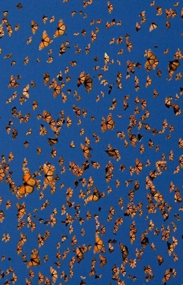 23 Best Images About Monarchs Butterflies On Pinterest