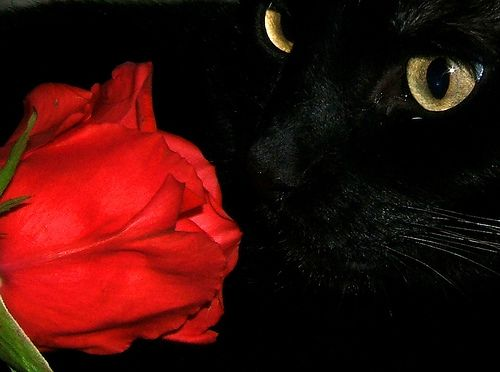 Red Rose HD Wallpaper On Valentines Day 2014 2015