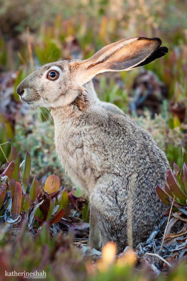 Jackrabbit Animals Wildlife Pinterest Photos, Rabbit