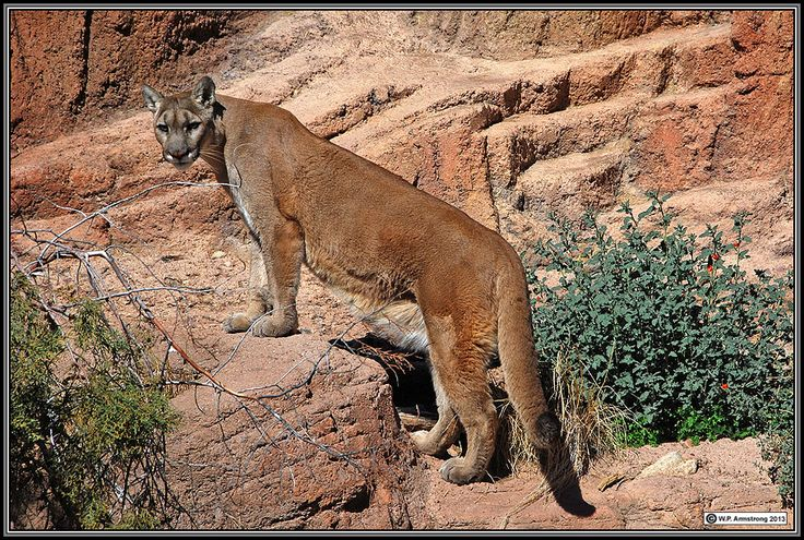Mountain Lion, Mojave Desert, California The Beautiful