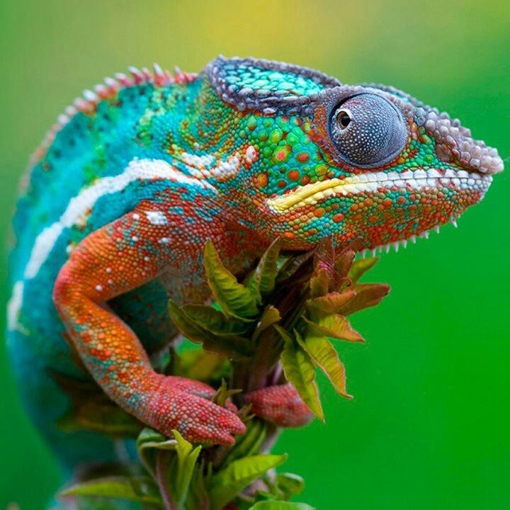Ambilobe Panther Chameleon. Panther chameleons