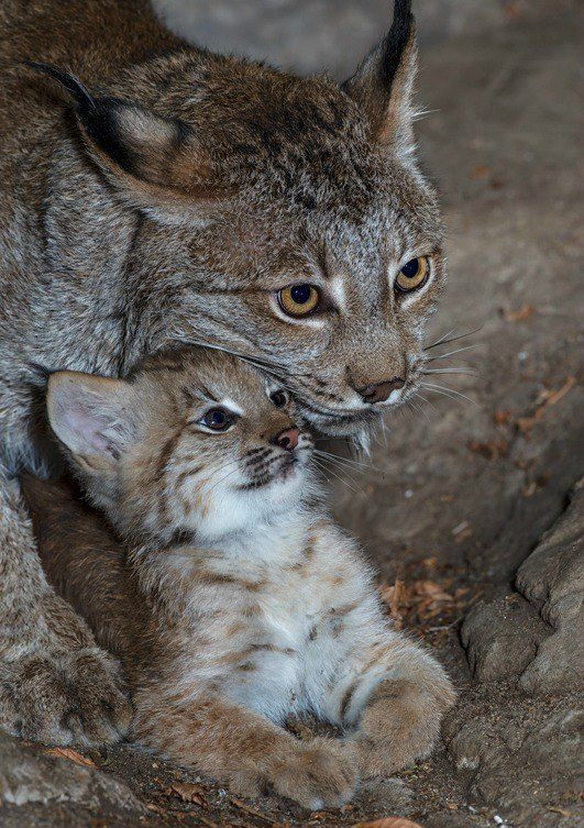 Little Lynx cub debuts at Biodome Montreal. More photos