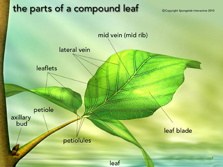 Leaf structure labelled with annotations Best Science