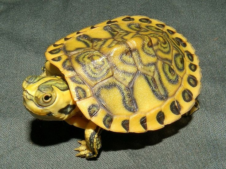 Hypo Pastel Yellow Bellied Sliders for sale from The
