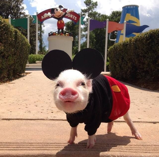 Mickey pig!! OK now we've seen it all.      but then we do live in Daytona Beach!
