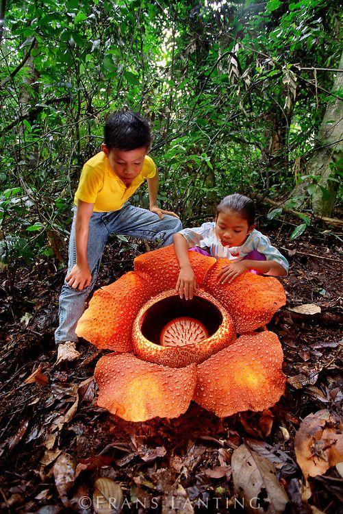 "The biggest flower on the earth ""Rafflesia"" (Botanical"