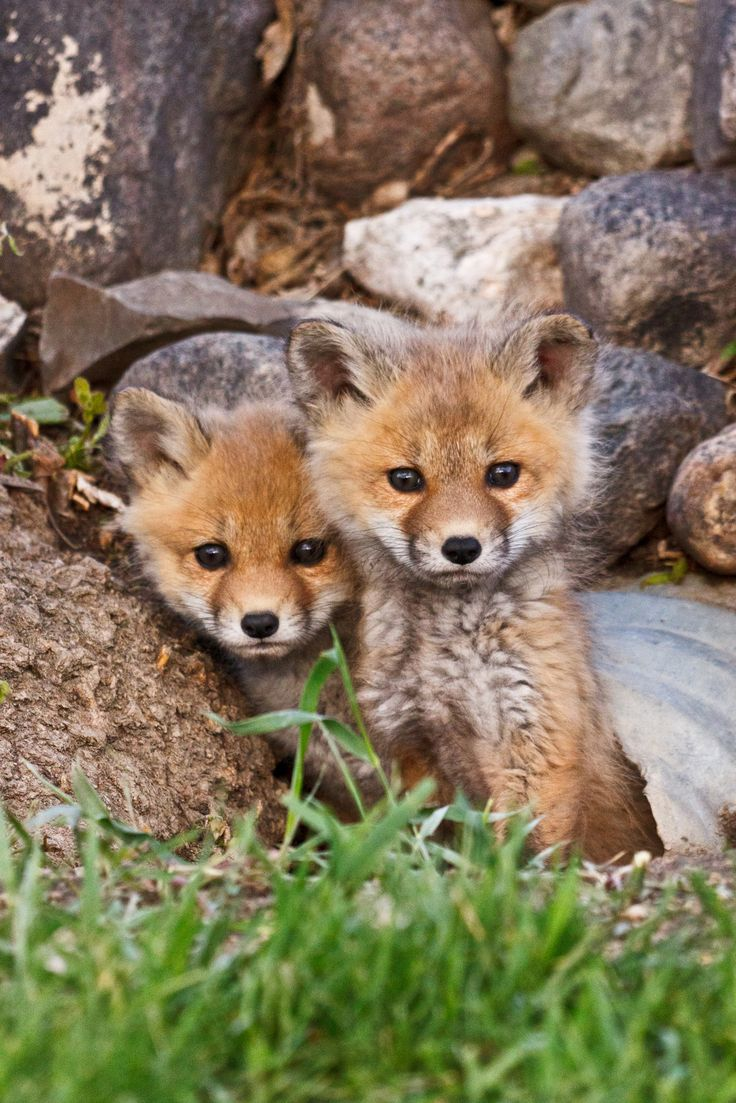 Flickr Too Cute! Pinterest Fox pups, Red fox and