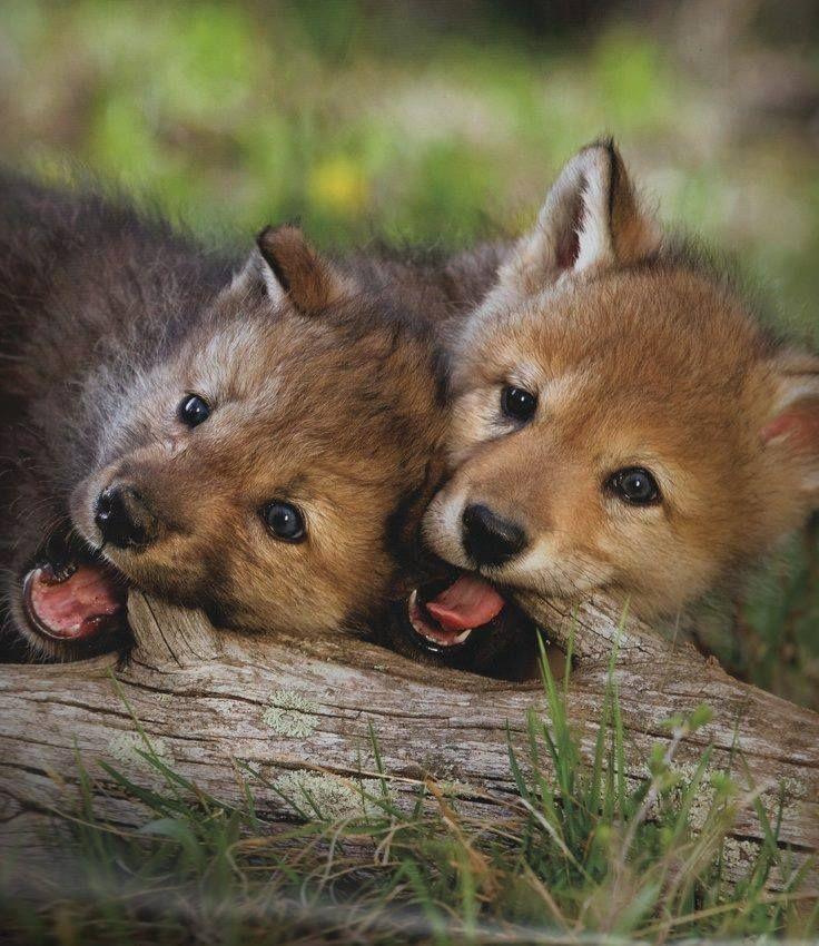 Google Images Arctic Wolf Pups