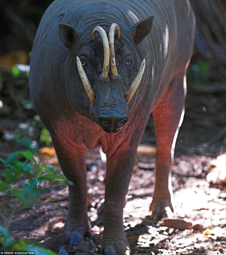 The Sulawesi Babirusa is so ugly that the people of the
