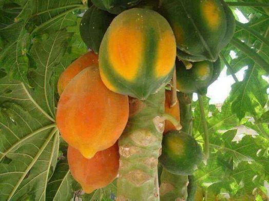 Resultado de imagen de calabaza, las papayas, las guayabas, los jocotes