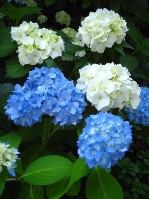 Fioritura Ortensie Azzurre : Come aumentare la fioritura delle ortensie guida giardino