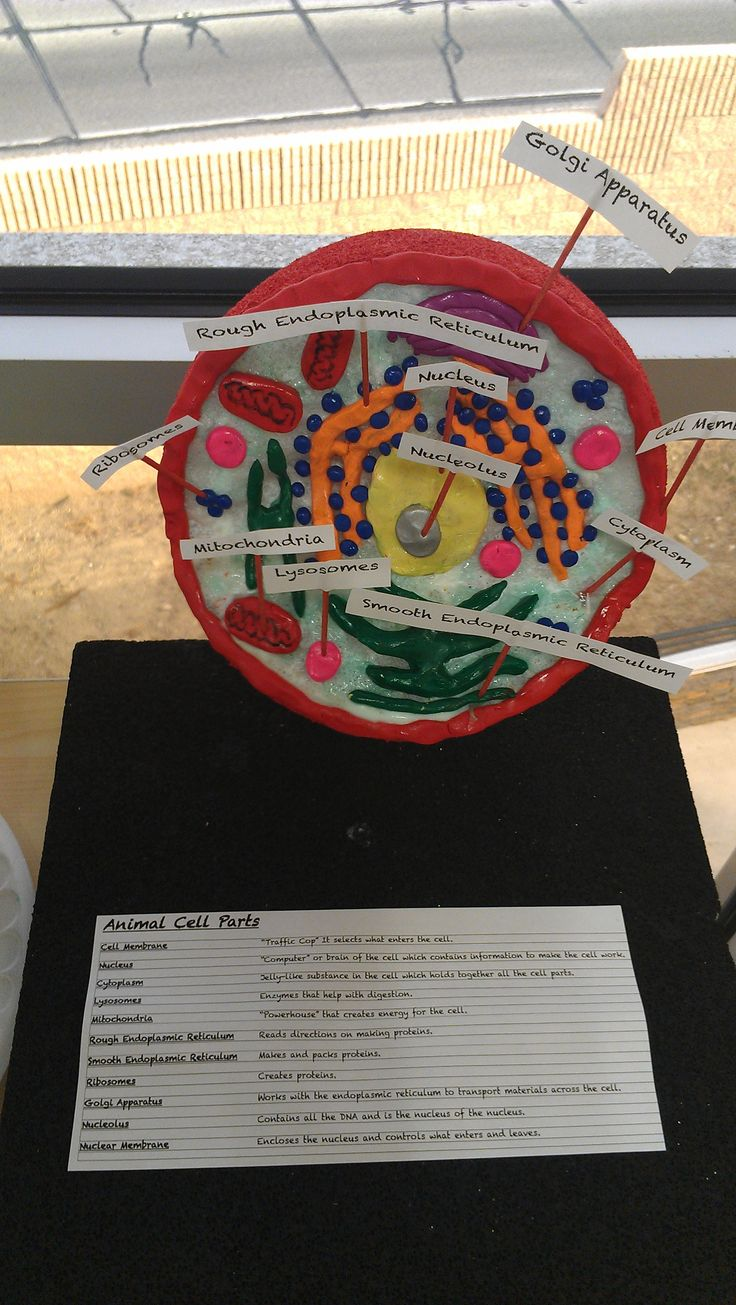 7th Grade Animal Cell Model by H.J. My Students