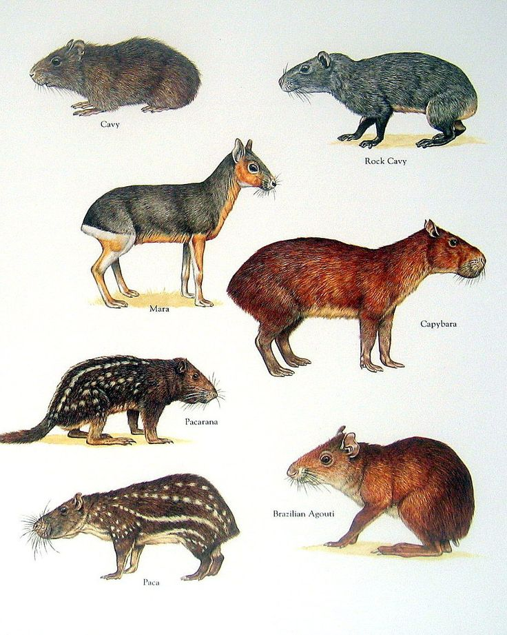 Exotic Rodents Cavy Mara Capybara Pacarana от