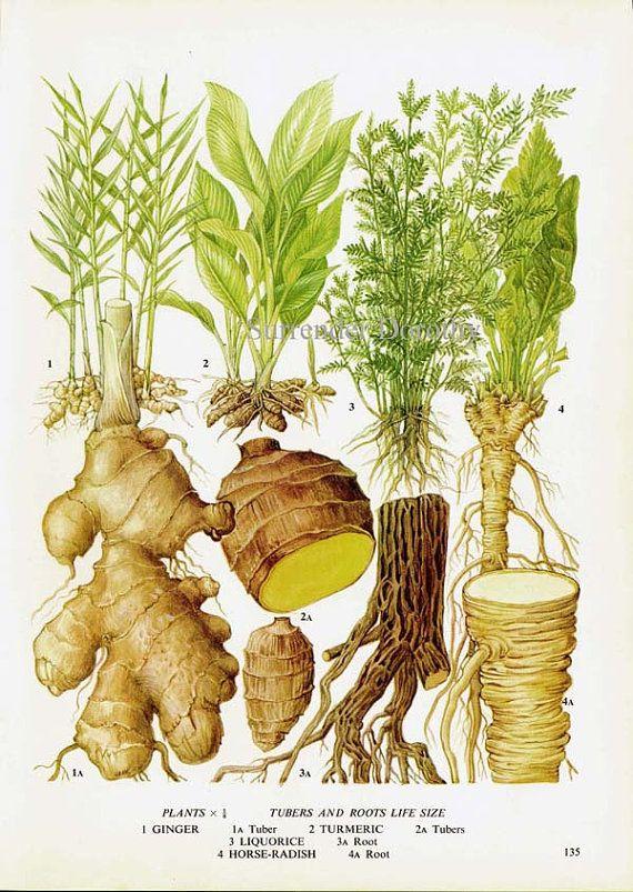 Ginger Turmeric Licorice Horseradish Chart Root Vegetable