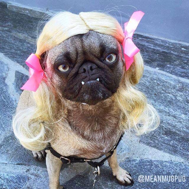 17 Best Images About Mean Mug Pug On Pinterest Pets