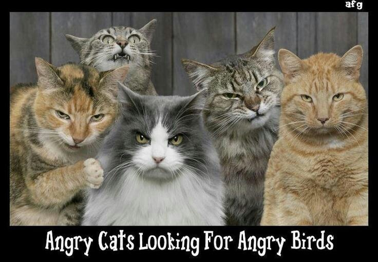 Angry Cats looking for Angry Birds everyday quotes