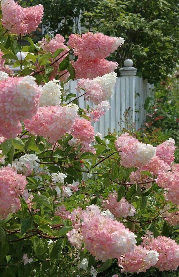 Hydrangea paniculata fraise vanille Bugás hortenzia My