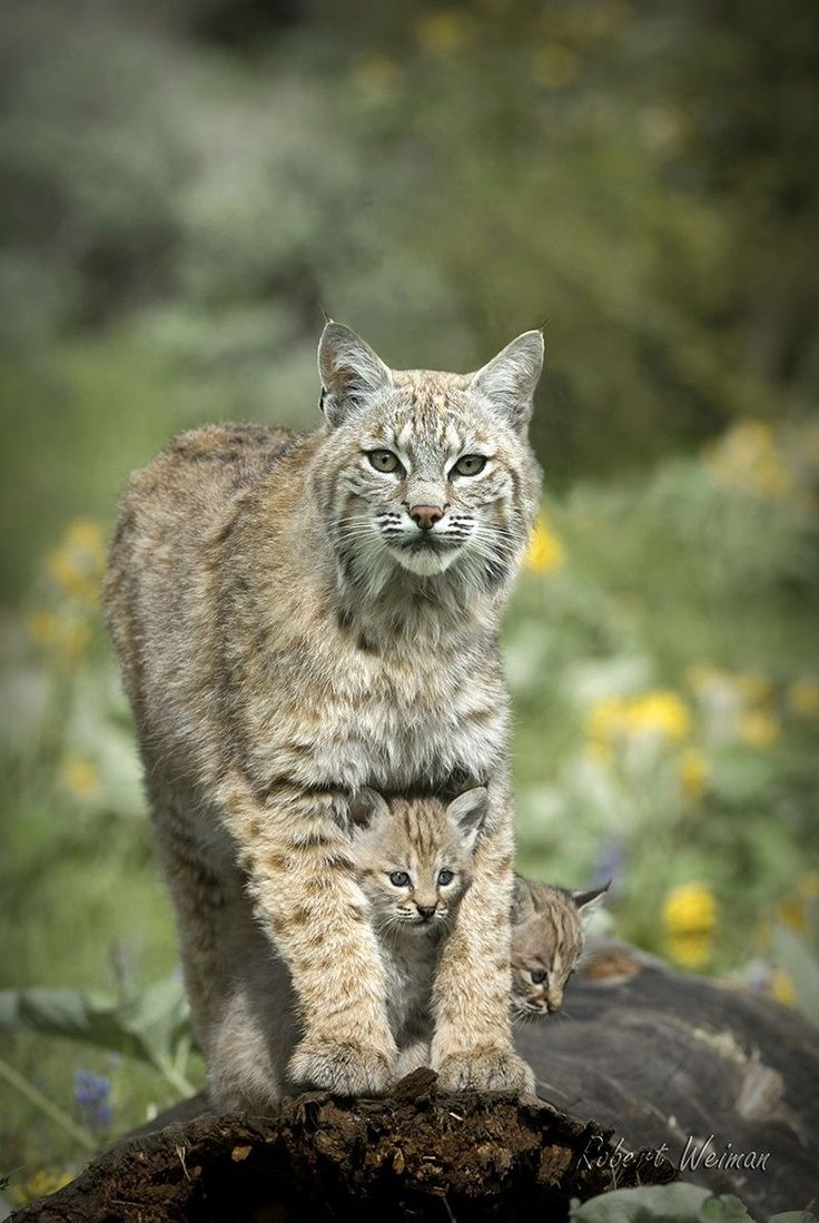 Bobcat with babies Cool Places WILD LIFE Pinterest