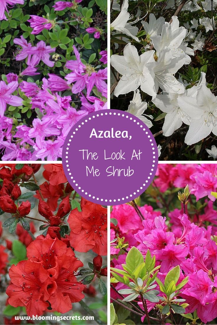 AzaleaThe Look at Me Shrub Shrubs, The o'jays and Blog