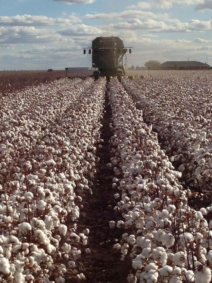Fibermax 2484 cotton being harvested on parkhill farms