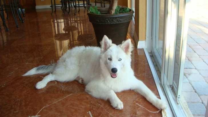Siberian Husky Samoyed Mix Adorable Pinterest